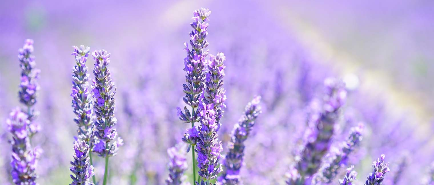 Lavender fights blemishes and photoaging