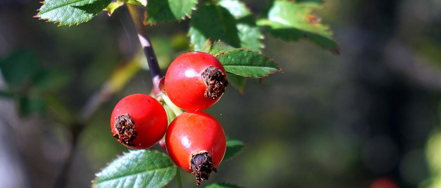 Rosehip is high in antioxidant and it nourishes skin