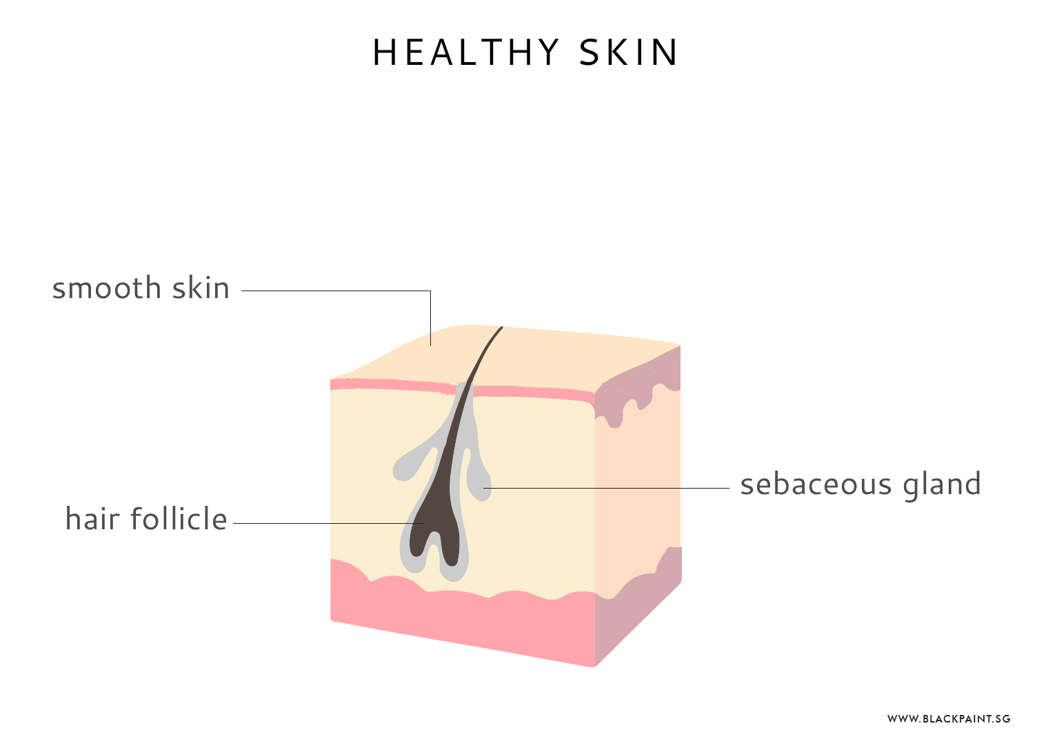 Healthy skin cross section