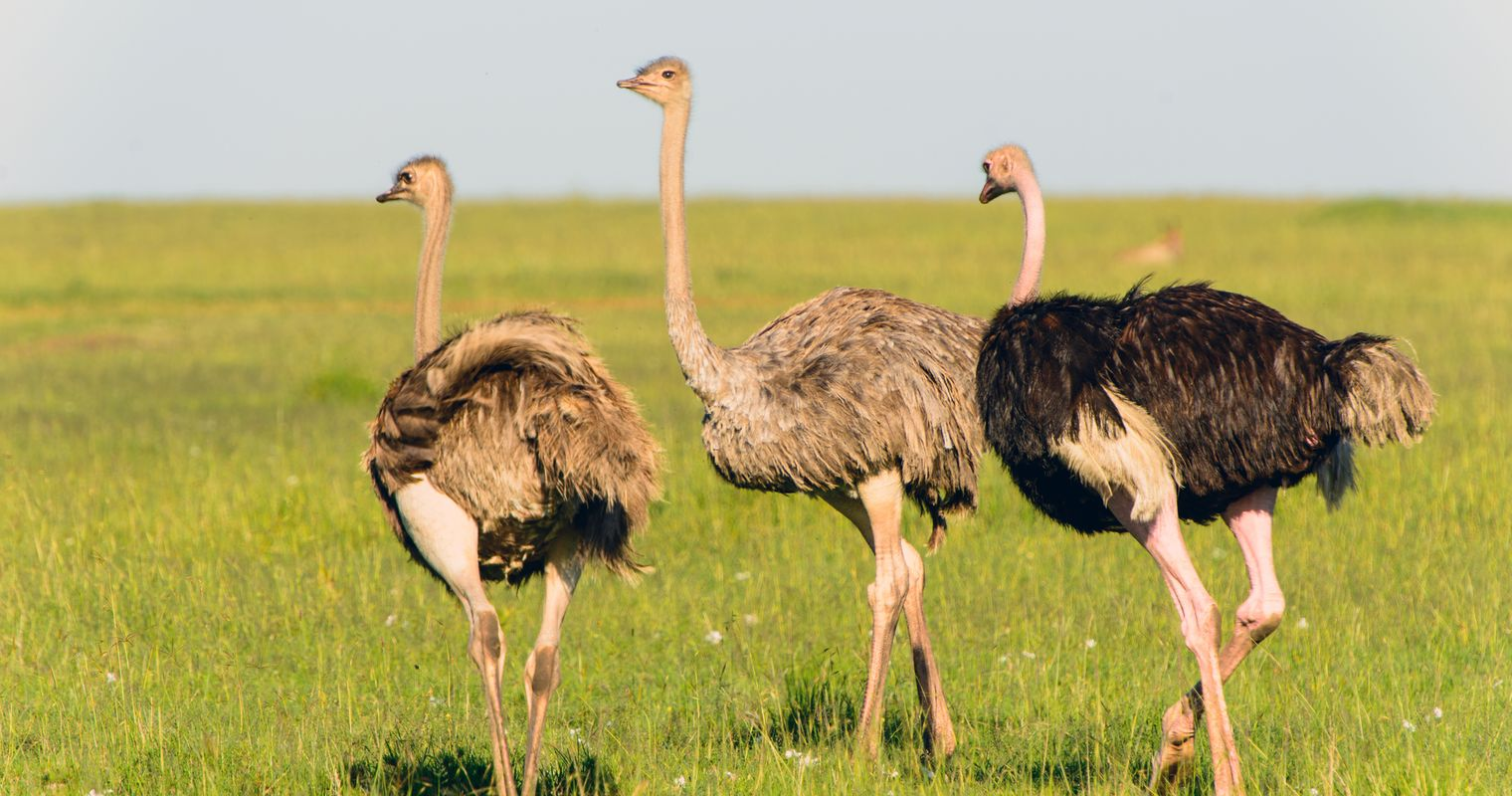 a group of ostrich