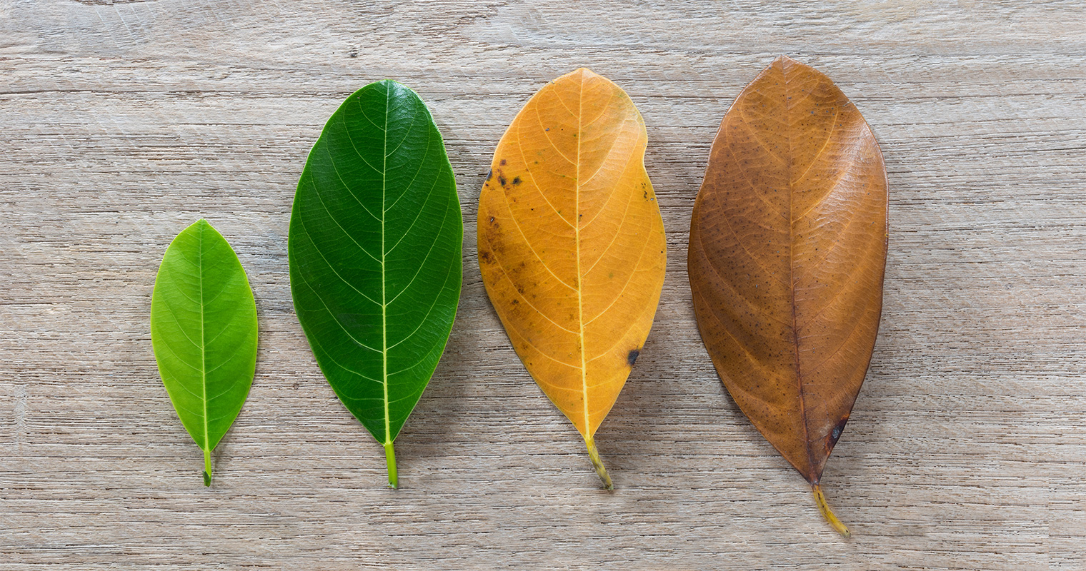 aging of life shown through the different color of leaf in different season